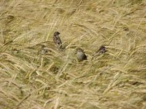 Sparrows in wheat field. Flock of house sparrows (passer domesticus) feeding in wheat field Stock Images