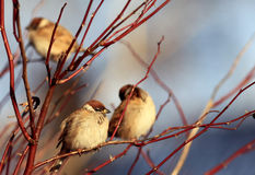 Sparrows on winter branches Royalty Free Stock Image
