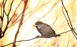 Sparrows on winter branches bird Royalty Free Stock Photography