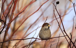 Sparrows on winter branches bird Royalty Free Stock Images