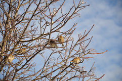 Sparrows on a winter tree Stock Photo