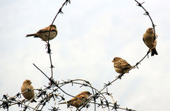 Sparrows on wire. Sparrows sitting on wire in the winter royalty free stock photo