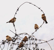 Sparrows on wire. Sparrows sitting on wire in the winter stock images