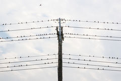 Sparrows on the wire Stock Image