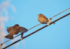 Sparrows on the wires Royalty Free Stock Photo