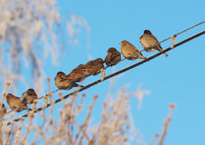 Sparrows on the wires Royalty Free Stock Images