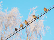 Sparrows on the wires Stock Photo