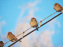 Sparrows on the wires Stock Photography