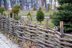 Sparrows on a wooden fence Stock Photos