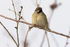 Sparrowsammanträde på en förgrena sig vinter som är solig, natur Royaltyfri Fotografi
