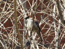 Sparrowsammantr?de p? en f?rgrena sig royaltyfria bilder