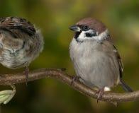 sparrowstree Royaltyfri Bild