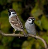 sparrowstree Arkivbild