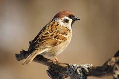 sparrowtree Arkivbilder