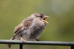 sparrowtree Royaltyfri Bild