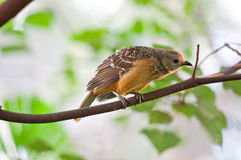 sparrowtree Royaltyfria Bilder