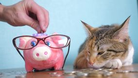 Sparschwein- und Katzenteamwork-lustige Videogeldkonzept-Finanzgeschäftsbuchhaltung Geldkatzenbuchhalter-Finanzierhaustier stock video