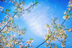 Sparse branches of blossoming cherry tree Stock Images