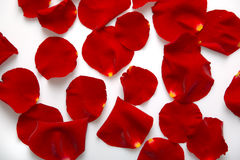 Sparse petals. Sparsed red rose petals on white background royalty free stock images