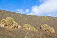 Sparse vegetation on volcanic hills in Timanfaya National Park w Stock Image