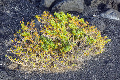 Sparse vegetation at volcanic stones Stock Images