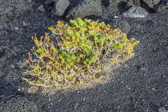 Sparse vegetation at volcanic stones Stock Photo
