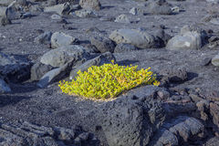 Sparse vegetation at volcanic stones Royalty Free Stock Photo