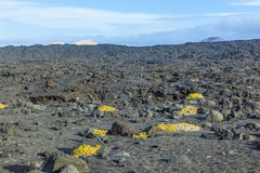 Sparse vegetation at volcanic stones in Lanzarote with volcano Stock Photos