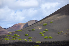 Sparse vegetation in volcanic wine-growing area la Geria in Lanzarote Royalty Free Stock Photo