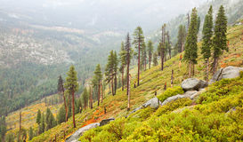 Sparse Yosemite Forest Royalty Free Stock Photography