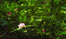 California Rhododendron royalty free stock images