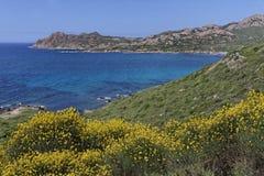 Spartiumjunceum, spansk kvast, Korsika Royaltyfria Bilder
