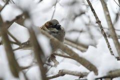 Sparv i en dold buske för snö arkivfoto