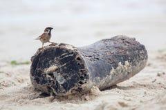 Sparv i stranden Royaltyfria Bilder