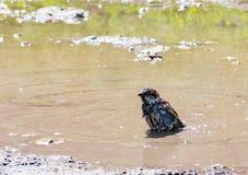 Sparv i vatten, naturlig miljö Arkivfoto