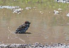 Sparv i vatten, naturlig miljö Royaltyfri Fotografi