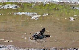 Sparv i vatten, naturlig miljö Royaltyfri Bild