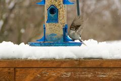 Sparv med dess vingar upprätt på en blå fågelförlagematare ovanför den insnöade våren i Minnesota royaltyfri fotografi