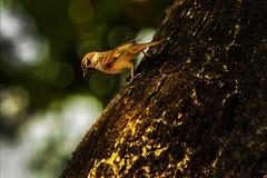 Sparv, när fåglarna går tillbaka Förbipasserandedomesticusuppsättningen frigör Royaltyfri Foto