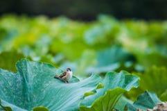 Sparv och lotusblomma Royaltyfri Fotografi