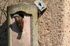 Sparv på ett bygga bohål på kurtiets Arkivfoton