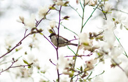 Sparv på magnolia Arkivfoto