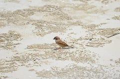 Sparv på stranden Arkivfoton
