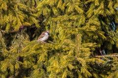Sparv på trädet Fotografering för Bildbyråer