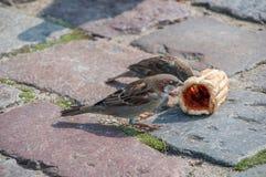 Sparv som två äter bröd Arkivfoton