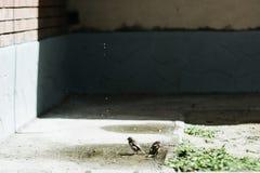 Sparvar dricker vatten från en pöl i staden royaltyfri fotografi
