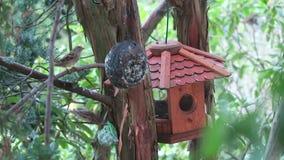 Sparvar på en fågelförlagematare inhyser att söka efter mat vinter för blommasnowtid lager videofilmer
