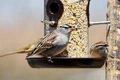 Sparvar på fågelförlagemataren Royaltyfria Bilder