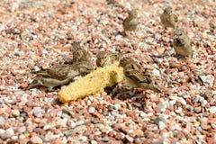 Sparvar på stranden äter restna av havre arkivbild