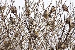 Sparvar sitter i busksnår av buskar Arkivbild